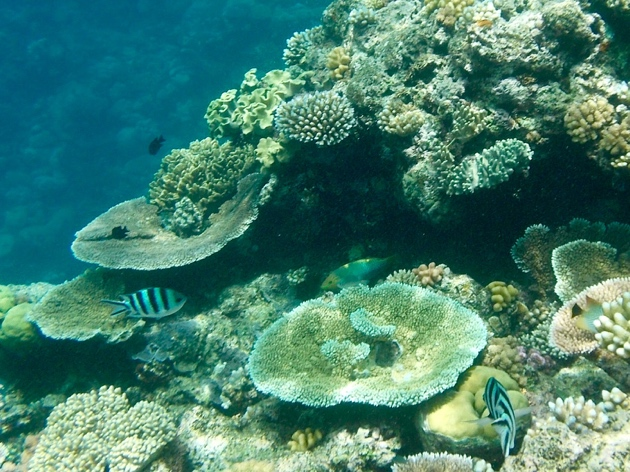 Great Barrier Reef–sergeant major fish and coral