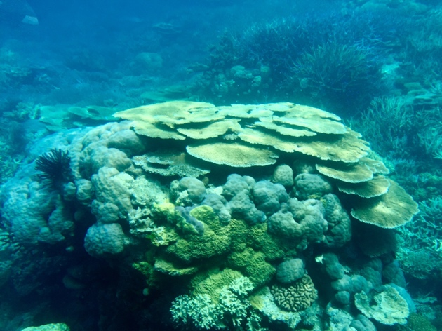 Great Barrier Reef–Tabletop Coral.jpg