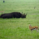 Tanzania Ngorongoro Crater Black Rhino And Thomson's Gazelles