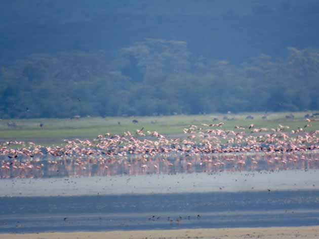 Tanzania Ngorongoro Crater Flamingos In Flight